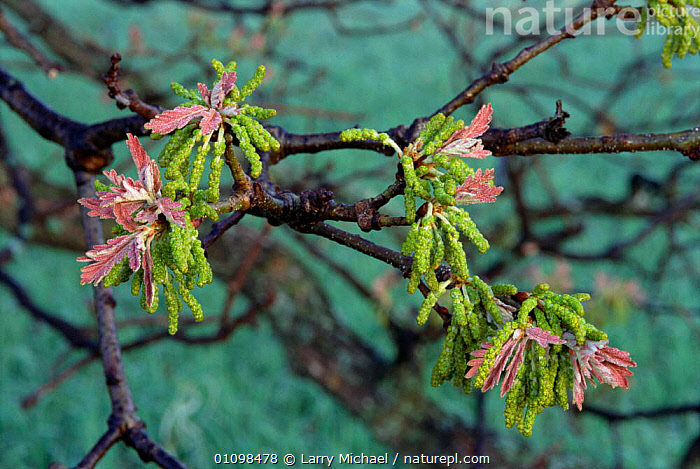 Oak tree spring leaf and catkins {Quercus robur} USA.  ,  TREES,USA,PLANTS,LAWRENCE,FLOWERS,AMERICA,COLOURFUL,North America  ,  Larry Michael