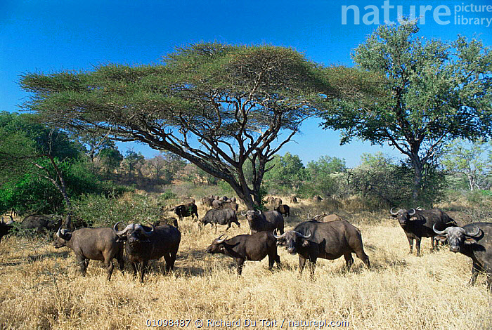 Cape buffalo herd {Synceros caffer caffer} grazing under large umbrella acacia thorn, Mala Mala Game Reserve, South Africa  ,  acacia,AFRICA,ARTIODACTYLA,BOVIDS,BUFFALOS,FAMILIES,FEEDING,grazing,GROUPS,MAMMALS,RESERVE,SAVANNA,SOUTHERN AFRICA,TREES,VELDT,VERTEBRATES,WINTER,Grassland,Plants,Cattle  ,  Richard Du Toit