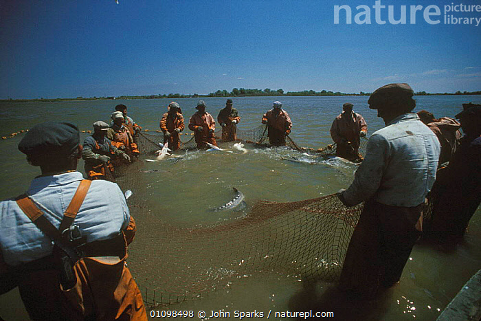 Sturgeon fishing {Acipenser sp} River Volga, Russia 1996  ,  CASPIAN,FISH,FISHERIES,FISHING,GROUP,GROUPS,HORIZONTAL,JSP,NET,NETS,PEOPLE,RIVERS,RUSSIA,CIS  ,  John Sparks