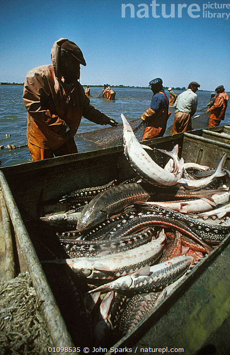 Fishermen with Sturgeon catch {Acipenser sp} River Volga, Caspian, Russia 1995  ,  BOATS,FISH,FISHERIES,FISHERMEN,FISHING,JSP,PEOPLE,RIVER,RUSSIA,SP,VERTICAL,CIS  ,  John Sparks