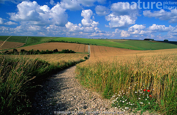 Track through Cereal fields on Wiltshire downs, England  ,  AGRICULTURE,COUNTRYSIDE,CROPS,DOWNLAND,EUROPE,FARMLAND,LANDSCAPES,PATHS,TRACKS,UK,United Kingdom,Grassland,British,ENGLAND  ,  Colin Varndell