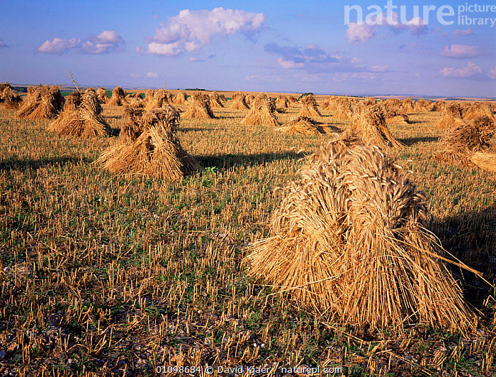 Field of Wheat stooks drying after harvest, used for threshing and straw for thatching, Wiltshire, UK.  ,  CROPS,EUROPE,FARMLAND,HARVESTING,HORIZONTAL,SUMMER,UK,United Kingdom,British,ENGLAND  ,  David Kjaer