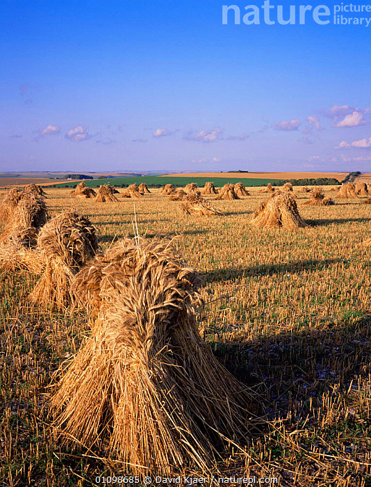 Field of Wheat stooks drying after harvest -  used for threshing and straw for thatching, Wiltshire, UK.  ,  CROPS,EUROPE,FARMLAND,HARVESTING,UK,VERTICAL,United Kingdom,British,ENGLAND  ,  David Kjaer