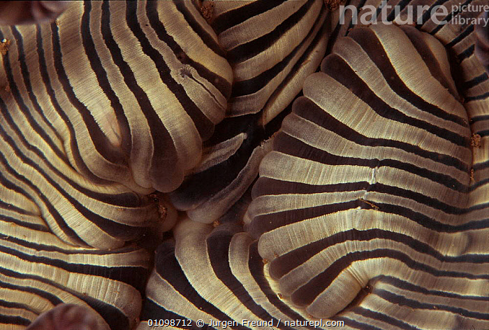 Close up of mouth of Sea anemone {Actiniaria} Sulu-sulawesi seas, Indo-pacific  ,  ABSTRACT,ANTHOZOAN,ANTHOZOANS,ARTY SHOTS,BLACK,CLOSE UP,CLOSE UPS,CRYPTIC,INDO PACIFIC,INVERTEBRATE,INVERTEBRATES,JFR,MARINE,MOUTHS,NATURE,PATTERNS,STRIPED,SULAWESI,SULU,TROPICAL,UNDERWATER,VERTICAL,WHITE,INDONESIA  ,  Jurgen Freund