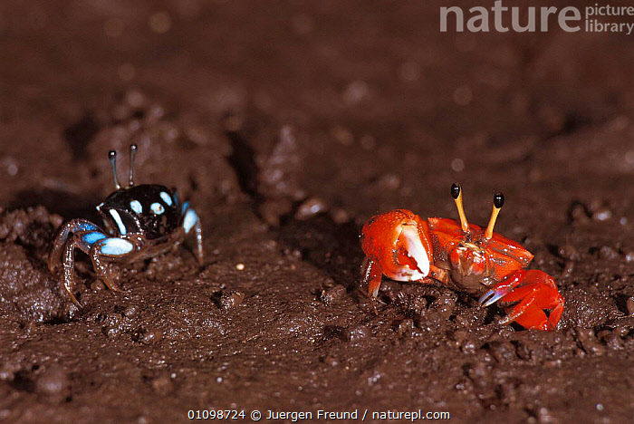 Fiddler crab pair {Uca sp} Sulawesi, Indonesia. Male on right  ,  ASIA,CLAW,CLAWS,CRUSTACEANS,HORIZONTAL,INDONESIA,INVERTEBRATE,INVERTEBRATES,JFR,LITTORAL,MALE,MALE FEMALE PAIR,MALES,SOUTH EAST ASIA,SULAWESI,TWO,INTERTIDAL  ,  Jurgen Freund