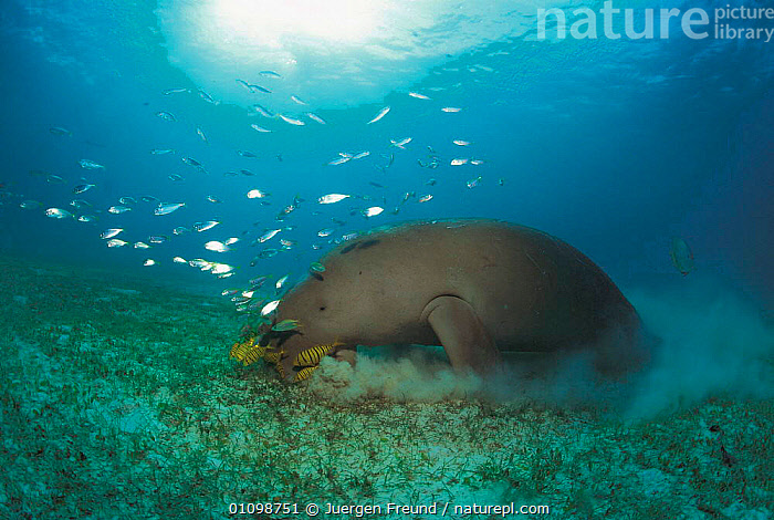 Dugong grazing  on seagrass  {Dugong dugong} Sulu-sulawesi seas, Indo-pacific  ,  FEEDING,FISH,GRASS,GROUPS,HORIZONTAL,,INDIAN,INDO PACIFIC,JFR,MAMMALS,MARINE,MIXED SPECIES,SHOAL,PACIFIC,SEABED,SEAGRASS,TROPICAL,UNDERWATER,PLANTS,SIRENIA  ,  Jurgen Freund