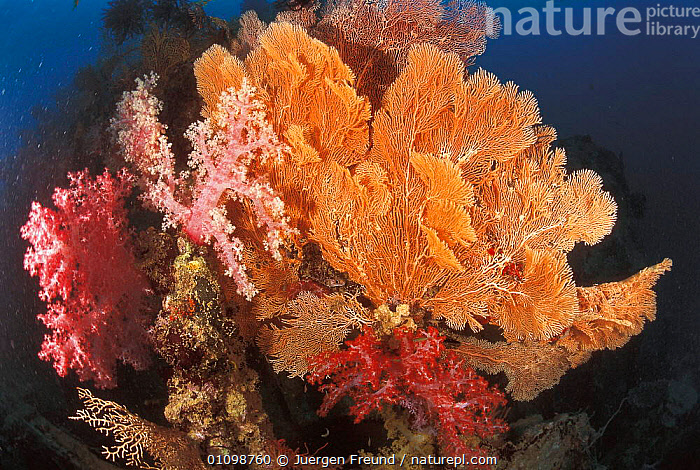 Soft coral {Dendronephthya sp} + Gorgonia fan  Sulu-Sulawesi seas, Indo Pacific  ,  ANTHOZOA,ANTHOZOANS,CNIDARIA,CORAL REEFS,D,DIG,DIGITAL,FAN,FREUND,GORGONIA,HORIZONTAL,INDIAN,INDO PACIFIC,INVERTEBRATES,JFR,JURGEN,MARINE,MIXED SPECIES,PACIFIC,REEF,SEAS,SULAWESI,SULU,SULU SULAWESI,TROPICAL,UNDERWATER, Cnidaria,INDONESIA  ,  Jurgen Freund