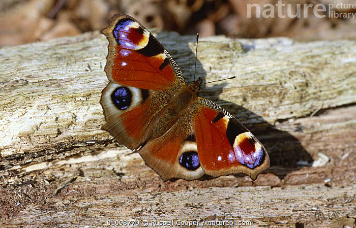 Peacock butterfly showing eye spots {Inachis io} England UK  ,  ARTHROPODS,BUTTERFLIES,COLOURFUL,EUROPE,INSECTS,INVERTEBRATES,LEPIDOPTERA,PORTRAITS,WINGS  ,  Russell Cooper