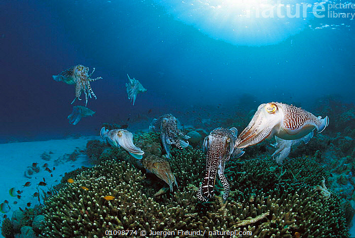 Group of Broadclub cuttlefish gathered as females lay eggs on reef {Sepia latimanus} Sulu-sulawesi seas, Indo-Pacific  ,  BEHAVIOUR,CORAL,CORAL REEFS,COURTSHIP,GROUPS,HORIZONTAL,,INDIAN,INDO PACIFIC,JFR,MARINE,MATING BEHAVIOUR,MOLLUSCS,,PACIFIC,REEF,REPRODUCTION,SULAWESI,SULU,TROPICAL,UNDERWATER,INVERTEBRATES,CEPHALOPODS, MOLLUSCS, Molluscs, Molluscs, Molluscs,Catalogue1,INDONESIA,SOUTH-EAST-ASIA,Asia  ,  Jurgen Freund