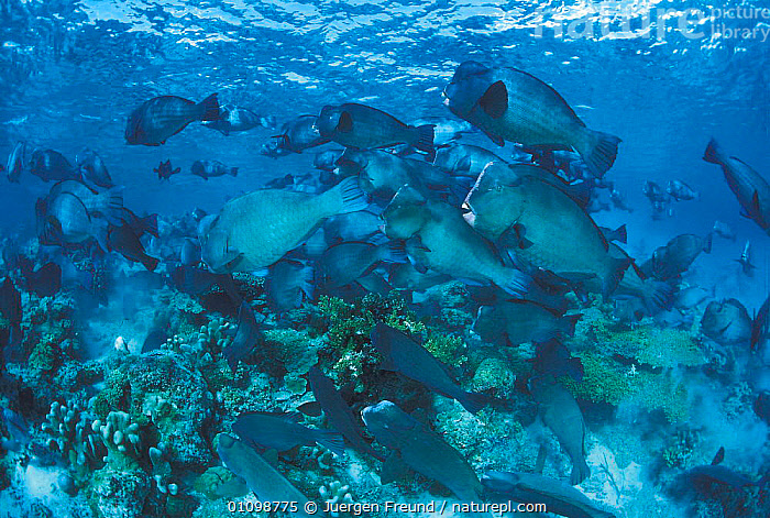 Shoal of Bumphead parrotfish {Bolbometopon muricatum} feeding at coral reef, Sulu-sulawesi seas, Indo-Pacific  ,  CORAL,CORAL REEFS,FEEDING,FISH,GROUP,GROUPS,HORIZONTAL,,INDIAN,INDO PACIFIC,JFR,MARINE,MURICATUM,,PACIFIC,PARROTFISH,REEF,SULAWESI,SULU,SULU SULAWESI,TROPICAL,UNDERWATER,INDONESIA  ,  Jurgen Freund