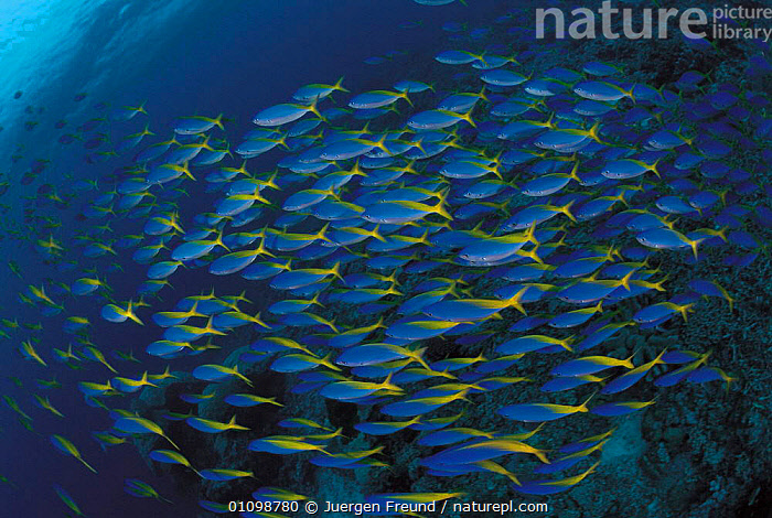 Blue and gold fusiliers schooling {Caesio teres} Sulu-sulawesi seas, Indo-pacific  ,  ABSTRACT,ARTY,ARTY SHOTS,FISH,GROUP,GROUPS,HORIZONTAL,,INDO PACIFIC,JFR,MARINE,,PATTERNS,SCHOOL,SHOAL,SHOALS,SULAWESI,SULU,SULU SULAWESI,TROPICAL,UNDERWATER,INDONESIA  ,  Jurgen Freund