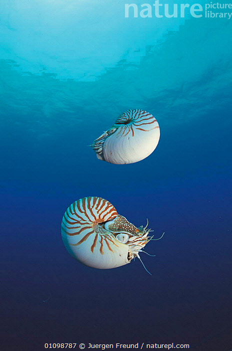 Two Pearly nautilus {Nautilus pompilius} Sulu-sulawesi seas, Indo-pacific. Fills shell with water to sink and expells water to rise, lateral movement by jet propulsion  ,  ,INDO PACIFIC,INVERTEBRATE,INVERTEBRATES,JFR,MARINE,MOLLUSC,MOLLUSCS,,SULAWESI,SULU,SULU SULAWESI,TROPICAL,TWO,UNDERWATER,VERTICAL,Catalogue1,INDONESIA,SOUTH-EAST-ASIA,Asia  ,  Jurgen Freund