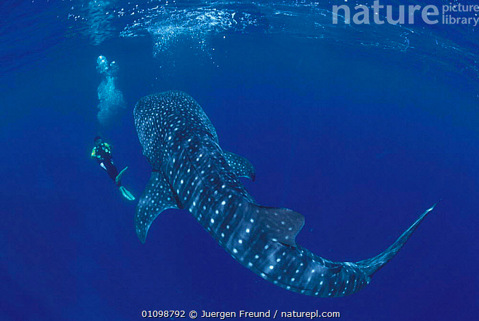 Whale shark {Rhincodon typus} + diver Sulu-sulawesi seas, Indo-pacific  ,  BIG,CHONDRICHTHYES,DIVER,DIVING,FISH,HORIZONTAL,,INDO PACIFIC,JFR,LARGE,MARINE,ONE,,PEOPLE,SIZE,SULAWESI,SULU,SULU SULAWESI,TROPICAL,UNDERWATER,SHARKS, Fish,INDONESIA  ,  Jurgen Freund