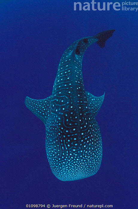 Whale shark {Rhincodon typus} Sulu-sulawesi seas, Indo-pacific, BIG,CHONDRICHTHYES,FISH,INDO PACIFIC,JFR,LARGE,MARINE,ONE,OUTSTANDING,SHARKS,SPOTS,SPOTTED,SULAWESI,SULU,SULU SULAWESI,TROPICAL,UNDERWATER,VERTICAL, Fish,Catalogue1,SIZE ,INDONESIA,SOUTH-EAST-ASIA,Asia, Jurgen Freund