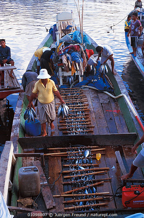 Unloading fish at Manado - tuna caught in Rakit area where custodian attractas fish from deep waters with lanterns at night for other fishing boats to catch at dawn. Boats pay to fish there. 2000  ,  FISH,FISHERIES,FISHERMEN,FISHERY,FISHING,JFR,MARKET,PEOPLE,SOUTH EAST ASIA,SULAWESI,SULU,SULU SULAWESI,TRADE,TRADITIONAL,VERTICAL,ASIA,SOUTH-EAST-ASIA,INDONESIA  ,  Jurgen Freund