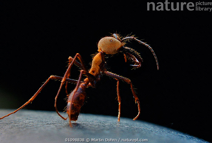 Army ant soldier portrait - jaws used for defence and suture purposes.{Eciton burchelli} Santa Rosa NP, Guanacaste, Costa Rica, Central America  ,  CLOSE UPS,FIERCE,HYMENOPTERA,INSECTS,INVERTEBRATES,ONE,TROPICAL DRY FOREST  ,  Martin Dohrn