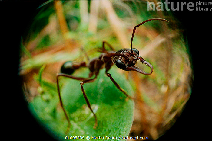 Bulldog ant close up portrait. Jaws used for grip to assist powerful sting {Myrmecia sp.} Australia  ,  ANT,AUSTRALIA,CLOSE UPS,FORMICIDAE,HYMENOPTERA,INSECT,INSECTS,INVERTEBRATES,JAWS,MD,MOUTHS,ONE,POWERFUL,STING,CONCEPTS  ,  Martin Dohrn