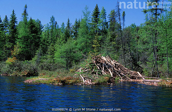 American beaver lodge {Castor canadensis} USA  Captive.  ,  LANDSCAPES,MAMMALS,NORTH,BEAVERS,HOME,AMERICA,DEN,LANDSCAPE,RODENTS,WETLANDS,HOMES  ,  Lynn M Stone
