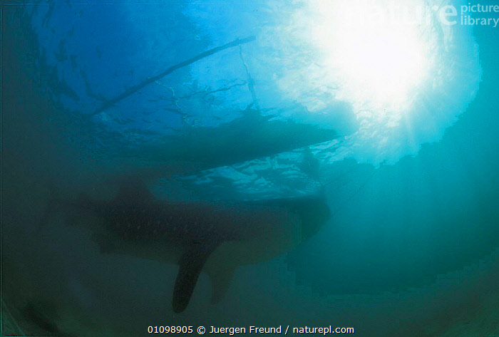 Whale shark captured and towed back to land while still alive. Pamilacan, Bohol, Philippines. 1997  ,  ASIA,FISH,FISHERIES,FISHING,HOLES,HORIZONTAL,HUNTER,HUNTING,JFR,PEOPLE,RHINCODON,SEA,SHARK,SHARKS,SOUTH EAST ASIA,SULAWESI,SULU,SULU SULAWESI,TRADITIONAL,TYPUS,UNDERWATER,SOUTH-EAST-ASIA,Catalogue1  ,  Jurgen Freund