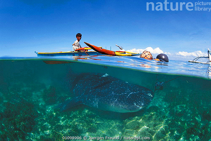 Whale shark held alive in shallow water. Pamilacan, Bohol, Philippines. 1997  ,  ASIA,BOATS,FISH,FISHERIES,FISHING,FREUND,HORIZONTAL,HUNTING,ISLAND,JFR,LEVEL,PEOPLE,RHINCODON,SEA,SHALLOW,SHARKS,SOUTH EAST ASIA,SPLIT,SPLIT LEVEL,SULAWESI,SULU,SULU SULAWESI,TRADITIONAL,TYPUS,UNDERWATER,WATER,WHALE,SOUTH-EAST-ASIA,INDONESIA  ,  Jurgen Freund