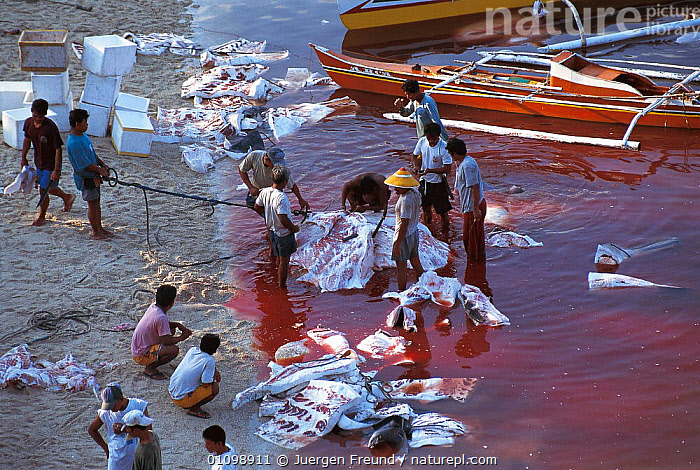 Whale shark slaughtered and cut up in shallow water. Pamilacan, Bohol, Philippines. 1997  ,  ASIA,BEACH,BEACHES,BOAT,BOATS,FISH,FISHERIES,FISHING,FOOD,HORIZONTAL,HUNTER,HUNTING,JFR,MEAT,PEOPLE,SLAUGHTERED,SOUTH EAST ASIA,SULU SULAWESI,TRADITIONAL,SOUTH-EAST-ASIA  ,  Jurgen Freund