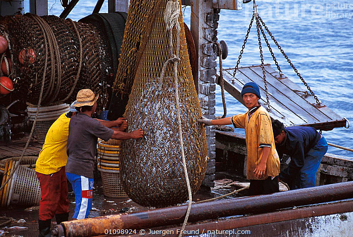 Trawler fish catch hauled onto boat in nets. Sulu-sulawesi seas, Indo-pacific  ,  ASIA,BOAT,BOATS,FISH,FISHERMEN,HAULING,HORIZONTAL,INDIAN,INDO,INDO PACIFIC,JFR,MARINE,MEN,NETS,OCEAN,PACIFIC,PEOPLE,SEAS,SOUTH EAST ASIA,SULU SULAWESI,TRAWLER  ,  Jurgen Freund