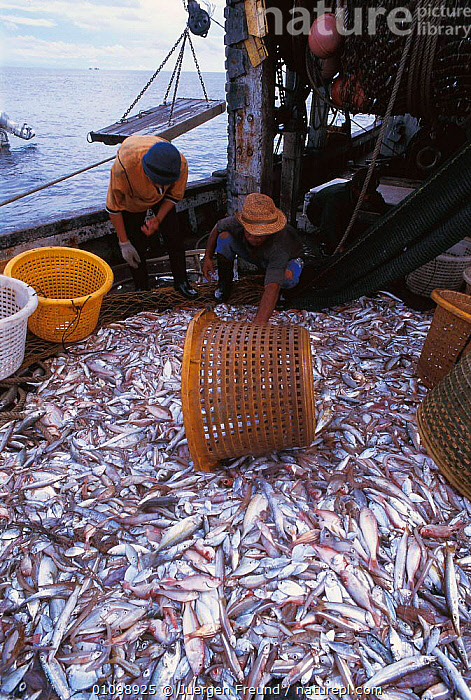 Trawler fish catch on boat. Sulu-sulawesi seas, Indo-pacific  ,  ASIA,BOAT,BOATS,CATCH,DEAD,FISH,FISHERMEN,FOOD,HARVEST,HAULING,HORIZONTAL,INDIAN,INDO,INDO PACIFIC,JFR,MARINE,OCEAN,PACIFIC,PEOPLE,SEAS,SOUTH EAST ASIA,SULAWESI,SULU,SULU SULAWESI,TRAWLER,INDONESIA,SOUTH-EAST-ASIA  ,  Jurgen Freund
