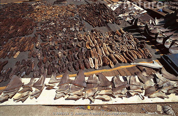 Shark fins and Sea cucumbers drying. Philippines.  ,  ASIA,FIN,FISH,FISHERIES,FISHING,HORIZONTAL,INDIAN,INDO,INDO PACIFIC,JFR,MARINE,PACIFIC,SEA,SHARK,SOUTH EAST ASIA,SULU SULAWESI,TRADE,SOUTH-EAST-ASIA  ,  Jurgen Freund