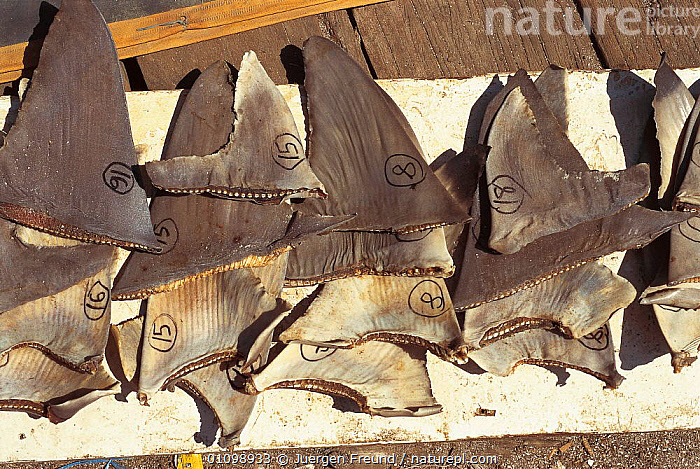 Shark fins drying. Philippines.  ,  ASIA,FINS,FISH,FISHERIES,FISHING,FOOD,HORIZONTAL,INDO,INDO PACIFIC,JFR,MARINE,PACIFIC,SEA,SOUP,SOUTH EAST ASIA,SULU SULAWESI,TRADE,SOUTH-EAST-ASIA  ,  Jurgen Freund