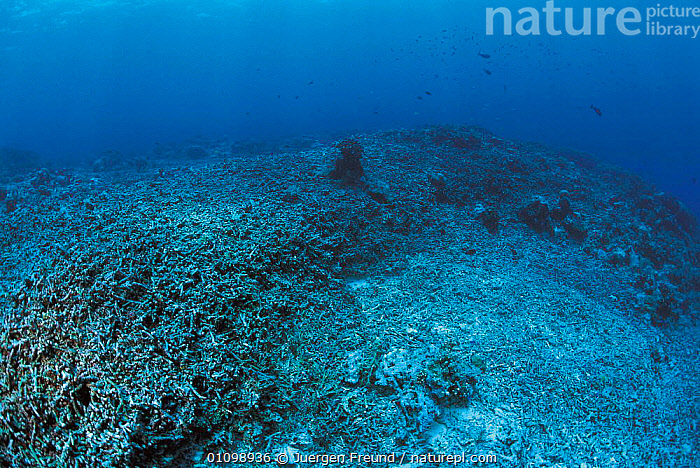 Coral reef blasted by dynamite fishing, Philippines.  ,  CNIDARIA,ANTHOZOANS,ASIA,CORAL REEFS,DAMAGE,DESTRUCTION,DYNAMITE,FISHERIES,FISHING,HORIZONTAL,INDIAN,INDO,INDO PACIFIC,INVERTEBRATES,JFR,MARINE,PACIFIC,PHILIPPINES,REEF,SEA,SOUTH EAST ASIA,SULU SULAWESI,UNDERWATER, Cnidaria,SOUTH-EAST-ASIA  ,  Jurgen Freund