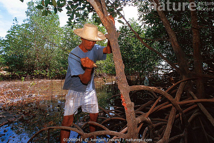 Farmer cutting mangrove tree, Philippines.  ,  ASIA,DAMAGE,DEFORESTATION,HORIZONTAL,INDIAN,INDO,INDO PACIFIC,JFR,MANGROVES,MARINE,PEOPLE,SOUTH EAST ASIA,SULU SULAWESI,TREE,SOUTH-EAST-ASIA  ,  Jurgen Freund