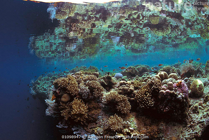 Coral reef at low tide. Philippines, Indo Pacific  ,  ANTHOZOANS,ASIA,CORAL REEFS,HABITAT,HORIZONTAL,,INDO PACIFIC,JFR,LANDSCAPE,MARINE,,PHILIPPINES,SOUTH EAST ASIA,SULU SULAWESI,TROPICAL,UNDERWATER,INVERTEBRATES, CNIDARIA, Cnidaria, Cnidaria, Cnidaria,Catalogue1,SOUTH-EAST-ASIA  ,  Jurgen Freund