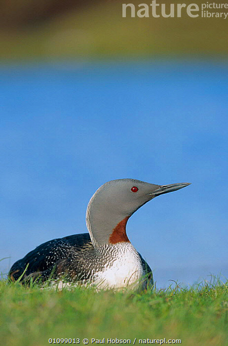Red throated diver {Gavia stellata} Shetland, Scotland, UK  ,  BIRDS,DIVERS,EUROPE,VERTICAL,WATERFOWL  ,  Paul Hobson
