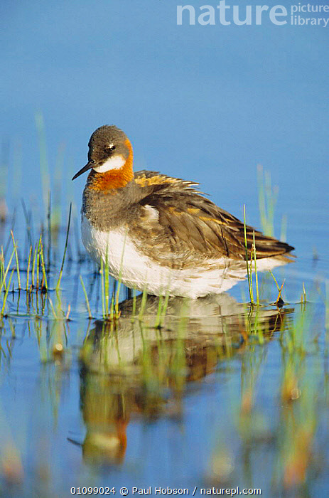 Northern / Red necked) phalarope {Phalaropus lobatus} female Shetland, Scotland  ,  PORTRAITS,WADERS,UK,BIRDS,VERTICAL,EUROPE,FEMALES,NECKED,BIRD,REFLECTIONS,PHALAROPES,WATER,United Kingdom,British  ,  Paul Hobson