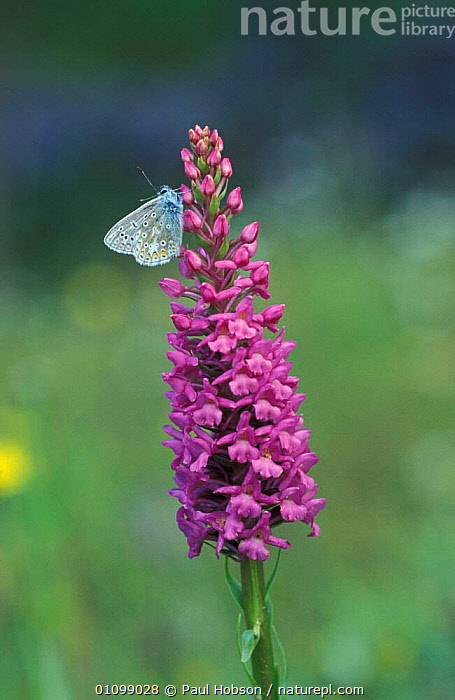 Common blue butterfly male {Polyommatus icarus} on Fragrant orchid. UK Derbyshire  ,  FLOWERS,INSECTS,GYMNADENIA,MALES,LEPIDOPTERA,INVERTEBRATES,ENGLAND,EUROPE,CONOPSEA,BUTTERFLIES,BRITISH,VERTICAL,ORCHID,PLANTS  ,  Paul Hobson