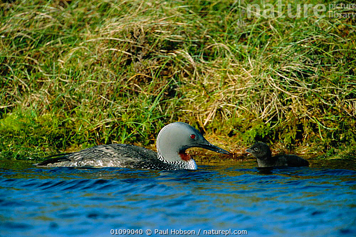 Red throated diver with 3-day-old chick on water {Gavia stellata} Shetland, Scotland, UK  ,  BIRDS,FAMILIES,HORIZONTAL,SCOTLAND,SHETLAND,SUMMER,UK,WATER,WATERFOWL,EUROPE,UNITED KINGDOM,BRITISH  ,  Paul Hobson