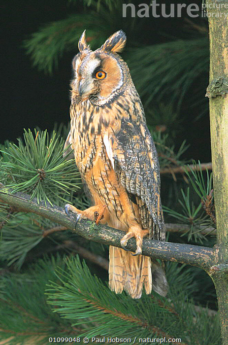 Long eared owl perched in pine tree {Asio otus} Derbyshire, UK Captive.  ,  OWLS,VERTICAL,BIRDS,BIRD,PREY,PORTRAITS,EUROPE,ENGLAND,PORTRAITS,CONIFEROUS,Raptor  ,  Paul Hobson