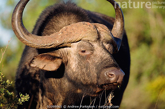 Cape buffalo male {Syncerus caffer caffer} Addo-Elephant NP, S Africa  ,  ADDO,AFRICA,AFRICAN,APA,ARTIODACTYLA,HORIZONTAL,HORNS,MALE,MALES,MAMMAL,MAMMALS,NP,PORTRAIT,PORTRAITS,SOUTHERN AFRICA,WILDLIFE,NATIONAL PARK,CATTLE  ,  Andrew Parkinson