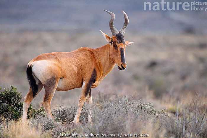 Red hartebeest {Alcelaphus caama} Karoo NP, South Africa  ,  AFRICA,AFRICAN,APA,ARTIODACTYLA,HORIZONTAL,MAMMAL,MAMMALS,NP,ONE,PROFILE,RESERVE,SOUTHERN AFRICA,WILDLIFE,NATIONAL PARK,ANTELOPES  ,  Andrew Parkinson
