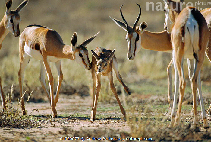 Springbok adults investigate young calf {Antidorcas marsupialis} Kgalagadi  ,  SNIFFING,AFRICA,GROUPS,MAMMALS,RESERVE,TRANSFRONTIER,GAZELLES,PARK,BABIES,FAMILIES,FAMILY,GROUPS,SOUTHERN AFRICA  ,  Andrew Parkinson