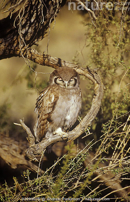 Giant eagle owl {Bubo lacteus} perched with nictating membranes covering eyes, Kgalagadi Transfrontier NP, South Africa  ,  BIRDS,BIRDS OF PREY,CAMOUFLAGE,EYES,OWLS,RESERVE,SOUTHERN AFRICA,VERTEBRATES,VERTICAL  ,  Andrew Parkinson