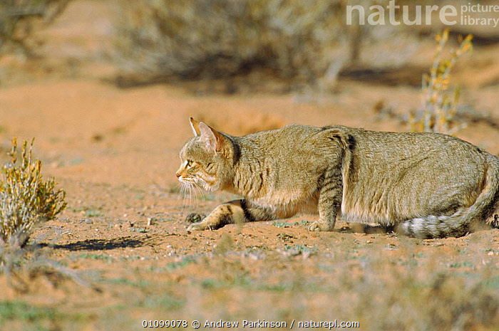 African wild cat stalking rodents {Felis sylvestris libyca} Kgalagadi TFP, S Africa  ,  DESERTS,CARNIVORES,CATS,RESERVE,SOUTHERN AFRICA,PREDATION,SOUTH,CARNIVORES,BEHAVIOUR,DESERTS,MAMMAL,MAMMALS  ,  Andrew Parkinson