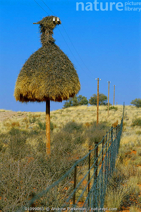 Sociable weaver nest on telegraph pole {Philetairus socius} South Africa  ,  SOUTHERN AFRICA,COLONY,NESTING BEHAVIOUIR,WIRES,LANDSCAPES,VERTICAL,FENCE,TELEPHONE,WIRE,NORTHERN,CAPE,DEFENSIVE,NESTS,BIRDS,Behaviour  ,  Andrew Parkinson