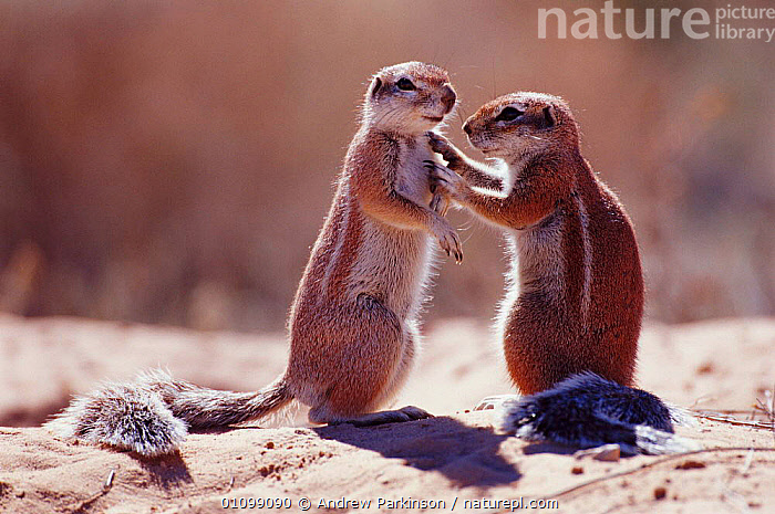 Cape ground squirrels interacting  {Xerus inauris}  Kgalagadi TFP, South Africa  ,  AFFECTIONATE,AFRICA,APA,CONCEPTS,FRIENDSHIP,HORIZONTAL,KGALAGADI,MAMMAL,MAMMALS,RESERVE,RODENT,RODENTS,SOUTH,SOUTHERN AFRICA,TFP,TWO,VERTICAL  ,  Andrew Parkinson