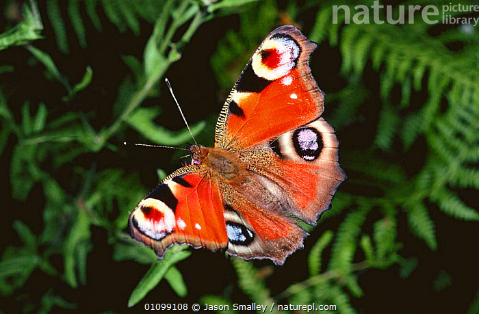 Peacock butterfly with wings fully open {Inachis io} Lancashire, UK  ,  ARTHROPODS,BUTTERFLIES,COLOURFUL,ENGLAND,EUROPE,EYES,INSECTS,INVERTEBRATES,LEPIDOPTERA,PORTRAITS,UK,WINGS,United Kingdom,British  ,  Jason Smalley