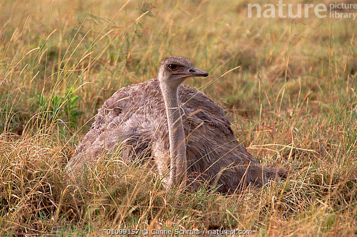 Ostrich female incubating eggs {Struthio camelus} Masai Mara, Kenya  ,  AFRICA,AFRICAN,BEHAVIOUR,BIRD,BIRDS,CSH,EAST,EAST AFRICA,EGGS,FEMALE,FEMALES,FLIGHTLESS,GROUND,INCUBATING,KENYA,MARA,MASAI,NEST,NESTS,PARENTAL,RESERVE,WILDLIFE  ,  Carine Schrurs