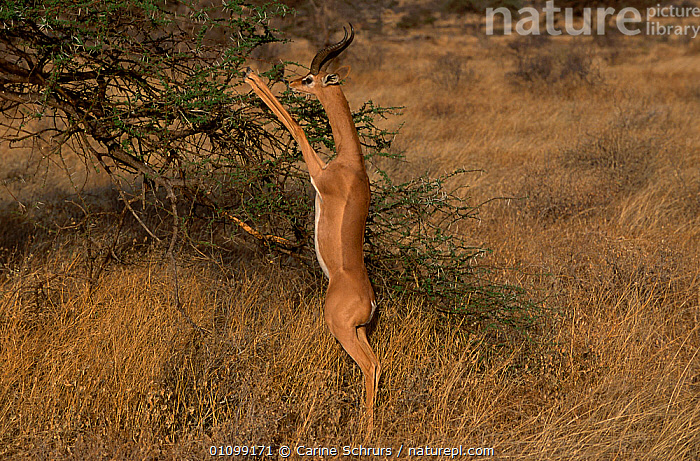RF- Male Gerenuk (Litocranius walleri) standing on hind legs feeding on Acacia. Samburu National Reserve, Kenya. (This image may be licensed either as rights managed or royalty free.)  ,  BOVIDS,FEEDING,HORIZONTAL,PLANTS,SAVANNA,STANDING,TREES,WILDLIFE,AFRICA,ARTIODACTYLA,GERENUKS,GRASSLAND,MALES,MAMMALS,RESERVE,VERTEBRATES  RF16Q4,LITOCRANIUS WALLERI,Plant,Vascular plant,Flowering plant,Rosid,Legume,Thorntree,Animal,Vertebrate,Mammal,Bovid,Gerenuk,Antelope,Plantae,Plant,Tracheophyta,Vascular plant,Magnoliopsida,Flowering plant,Angiosperm,Seed plant,Spermatophyte,Spermatophytina,Angiospermae,Fabales,Rosid,Dicot,Dicotyledon,Rosanae,Fabaceae,Legume,Pea,Bean,Leguminosae,Acacia,Thorntree,Whistling thorn,Wattle,Animalia,Animal,Wildlife,Vertebrate,Mammalia,Mammal,Artiodactyla,Even-toed ungulates,Bovidae,Bovid,ruminantia,Ruminant,Litocranius,Gerenuk,Litocranius walleri,Wallers gazelle,Giraffe necked gazelle,Reaching,Standing,Balance,Skill,Colour,Brown,Nobody,Slim,Skinny,Africa,East Africa,Kenya,Male Animal,Fabale,Mimosa Family,Mimosa,Mimosas,Acacias,Plain,Plains,Day,Nature,Wild,Feeding,Reserve,Protected area,Standing on hind legs,Antelope,Negative space,National Reserve,Samburu National Reserve,RF,Royalty free,RFCAT1,RF16Q4,  ,  Carine Schrurs