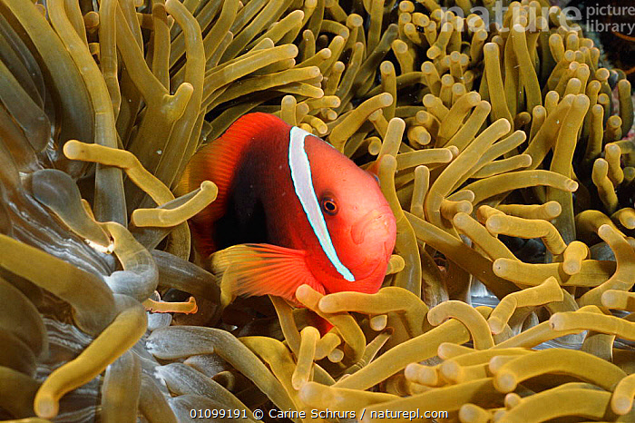 Tomato anemonefish {Amphiprion frenatus} amongst tentacles of Magnificent sea anemone. Batangas, Philippines  {Heteractis magnifica}  ,  ANTHOZOANS,CORAL,CORAL REEFS,CSH,FISH,HORIZONTAL,INDO,INDONESIA,INDO PACIFIC,MARINE,MIXED SPECIES,,PACIFIC,PHILIPPINES,REEF,SOUTH EAST ASIA,SYMBIOSIS,TROPICAL,UNDERWATER,ASIA,CONCEPTS,PARTNERSHIP,INVERTEBRATES, Partnership  ,  Carine Schrurs