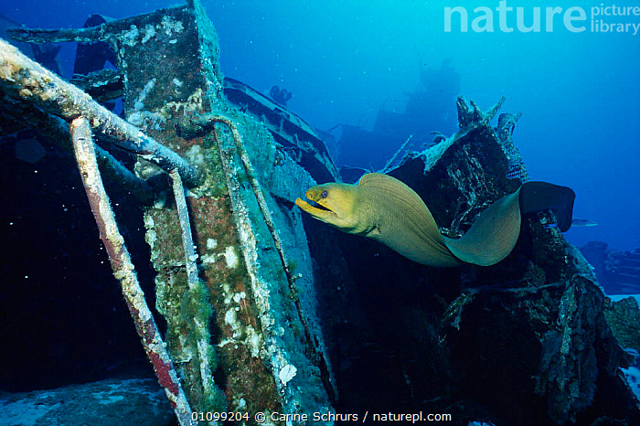 Green moray eel {Gymnothorax funebris} on ship wreck. Cayman brac, BWI, Caribbean. Russian destroyer 356 was sunk in 1996 to create artificial reef.  ,  ARTIFICIAL,BOAT,BOATS,BWI,CARIBBEAN,CSH,FISH,HABITAT,HORIZONTAL,MARINE,REEF,SHIP,SHIPWRECK,UNDERWATER,VERTICAL,WRECK,West Indies  ,  Carine Schrurs