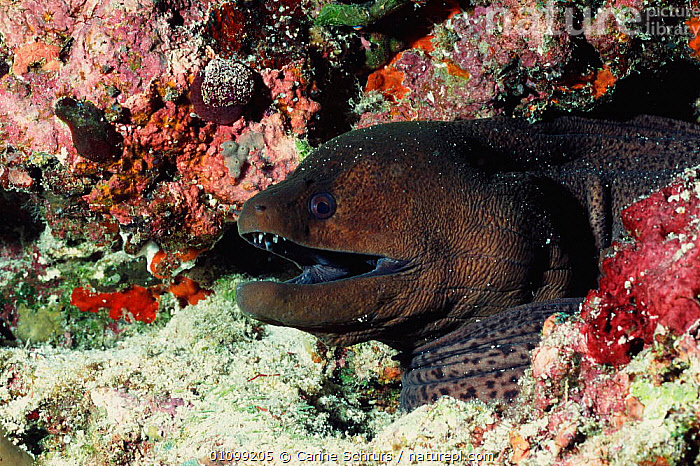 Giant moray eel {Gymnothorax javanicus} Andaman sea, Myanmar  ,  ANDAMAN,CSH,FISH,HORIZONTAL,INDIAN,INDO,INDONESIA,INDO PACIFIC,MARINE,PACIFIC,SOUTH EAST ASIA,TROPICAL,UNDERWATER,ASIA  ,  Carine Schrurs